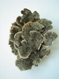 雲芝因其層層疊疊的菌蓋似雲朵而命名
