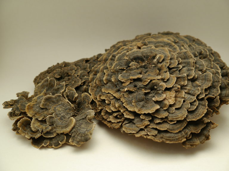 Yunzhi mushroom