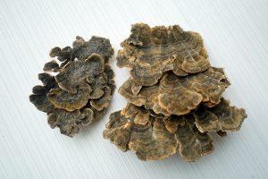 Coriolus versicolor (yun zhi)